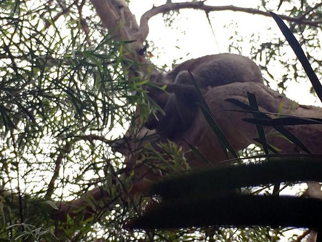 """""""...很大一片高大浓密的桉树林,也是野生小考拉们的家,还有 各种的白色鹦鹉,和其他的小动物,超级可爱_坎尼特河""""的评论图片"""