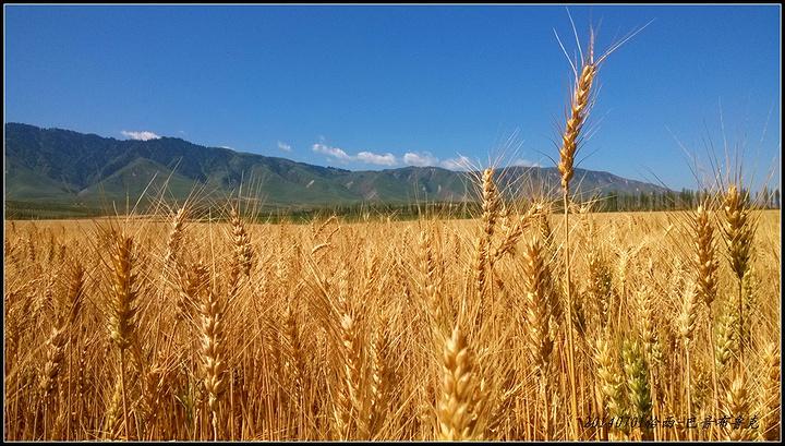 """""""离开恰西直奔巴音布鲁克,路上一片金色的田野让我们非常兴奋,不知这一片丰收的田野将要收货的是什么农作物_恰西森林公园""""的评论图片"""