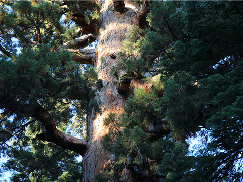 马里波萨谷巨杉林旅游景点图片
