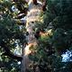 马里波萨谷巨杉林