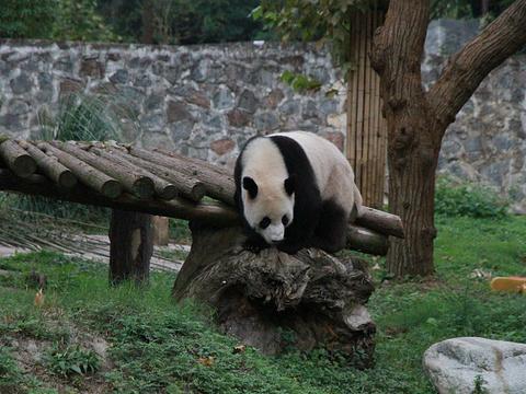 都江堰中华大熊猫苑(原熊猫乐园)旅游景点图片