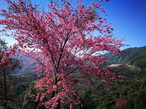 无量山樱花谷旅游景点图片
