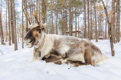 敖鲁古雅驯鹿之乡