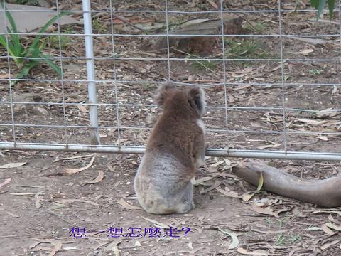 考拉保育中心旅游景点图片
