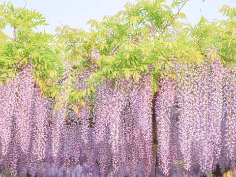 紫藤园旅游景点图片