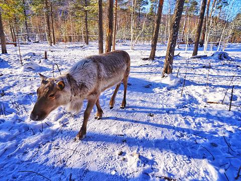 白桦林驯鹿园旅游景点图片