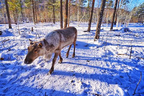 白桦林驯鹿园旅游景点攻略图