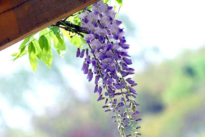 嘉定紫藤园图片