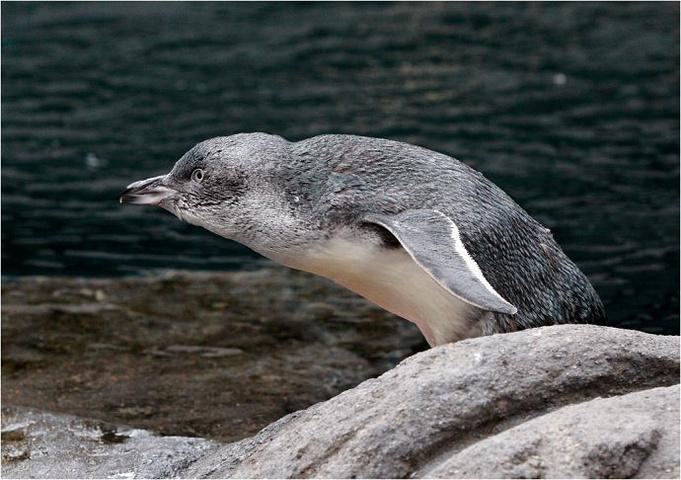 """""""天黑前是观察企鹅的最佳时间,会返回岸上的小窝过夜_国际南极中心""""的评论图片"""