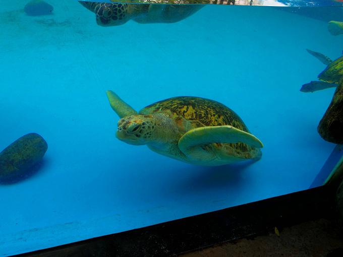 绿海龟图片