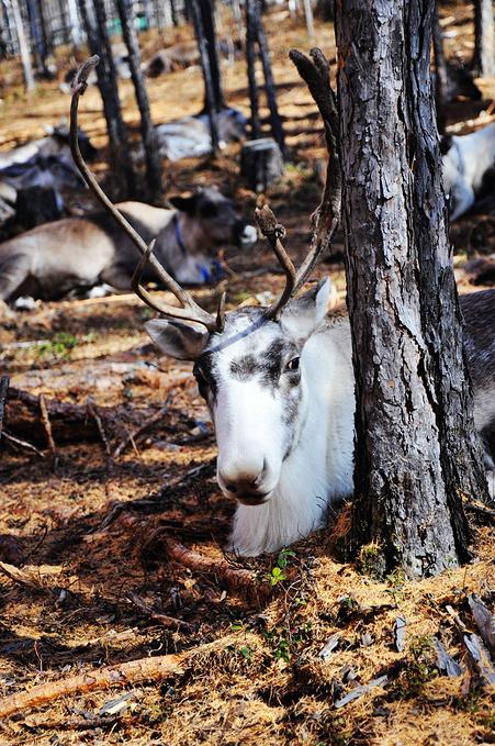 原始而神秘的驯鹿部落-玛利亚·索部落图片