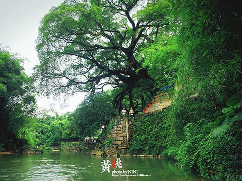 龙爪榕旅游景点图片