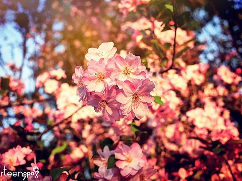 罗平樱花旅游景点图片