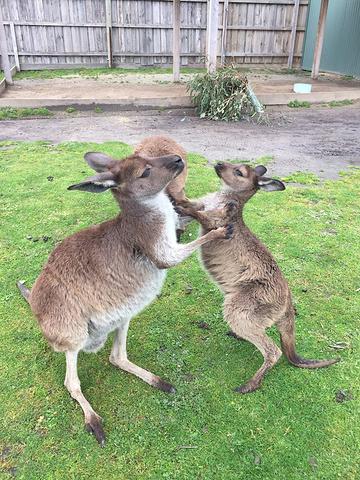 """""""世界上最小的企鹅_墨尔本动物园""""的评论图片"""