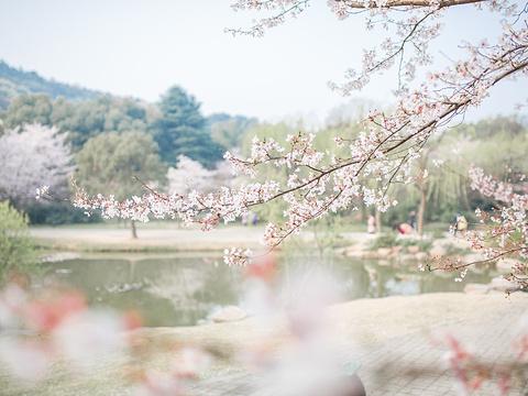樱花谷旅游景点图片