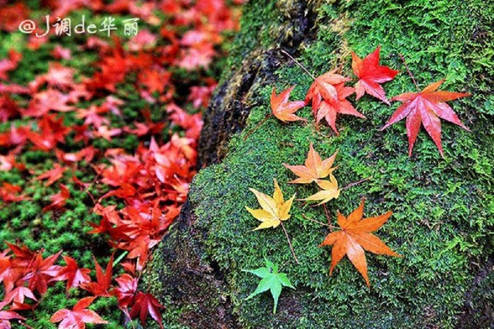 【京都】醉美红叶狩:2015京都赏红叶指南