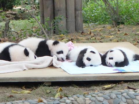 成都大熊猫繁育研究基地旅游景点图片