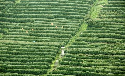 龙井问茶的图片