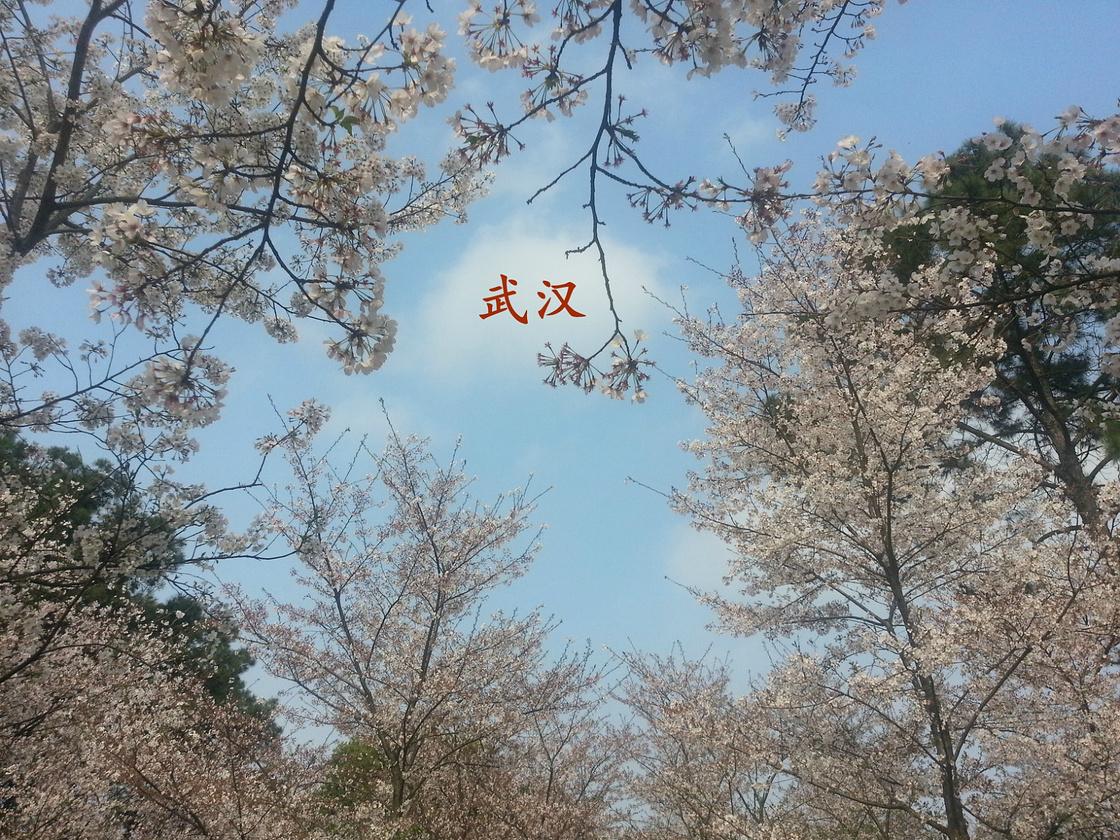 武汉樱花之旅