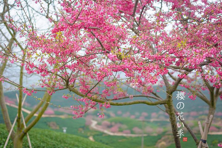 """""""樱花在很多的心目中都是美丽、爱情、漂亮和浪漫的象征。每年都吸引不少游客和摄影师前来观光和拍照_永福樱花园""""的评论图片"""