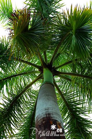 """""""...际破坏力5星,远观就好,千万别动啊,手指要紧,塞班的医疗水平一般,能剪开椰子的生物绝对不是善类_土人农场""""的评论图片"""