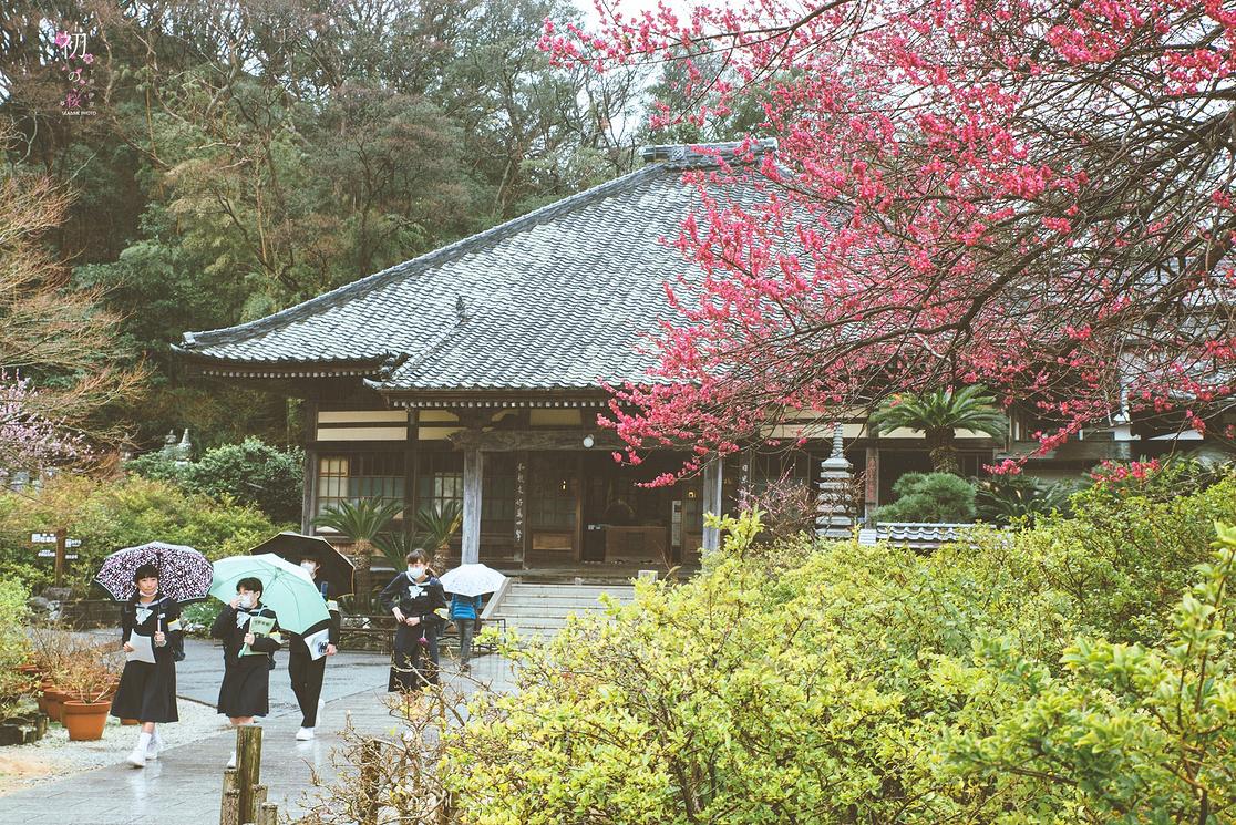 樱花树下,漫步在伊豆和关西~