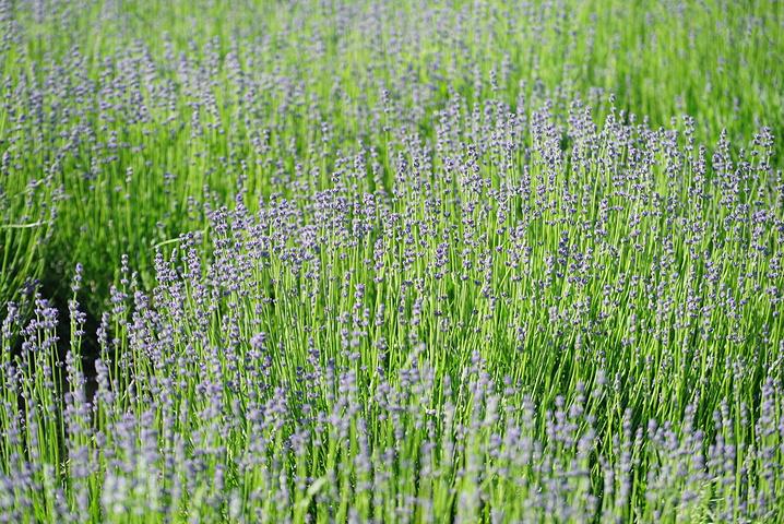 """Tips:● 观赏地点:熏衣草在伊犁境内分布非常广。霍城县有许多薰衣草园地,其中以65团8连的最著名_霍城65团薰衣草基地""的评论图片"
