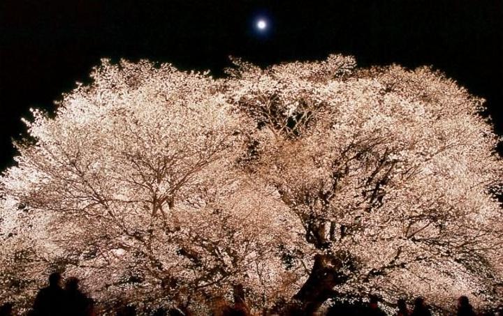 """"""" 此棵雄壮的大树主干高达14公尺,树围约7公尺,延伸旁枝更可超过20公尺,春季时威风凛凛地矗立..._一心行大樱""""的评论图片"""