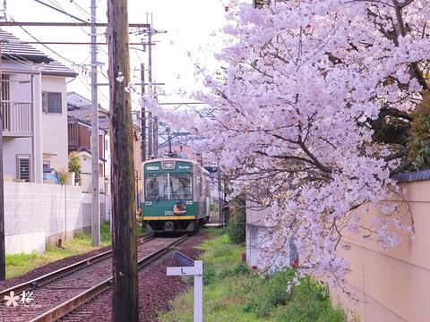岚电樱花隧道旅游景点图片