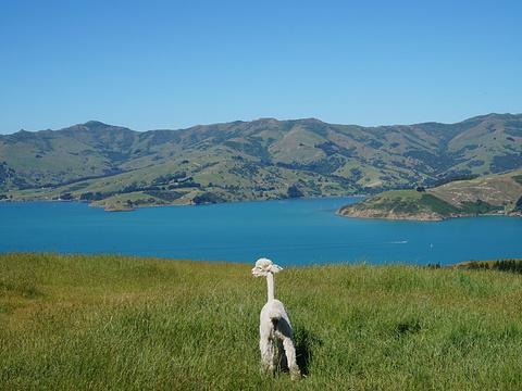 莎玛拉羊驼牧场旅游景点图片