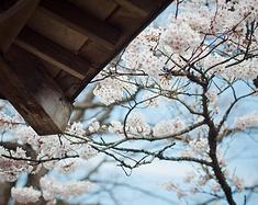日本中部北陆樱飞舞,高山祭温泉趴趴走