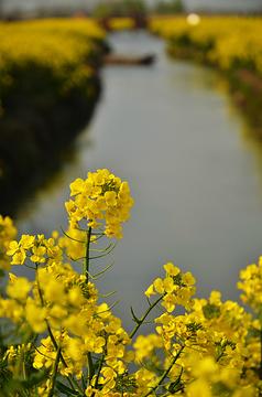 千岛菜花风景区旅游景点攻略图