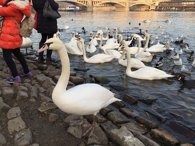 """""""...鸽子和水鸭等聚集觅食和与游人玩耍,灵动的禽类与对岸美丽的建筑物相映成趣,衬着夕阳,真是让人陶醉_福尔塔瓦河畔""""的评论图片"""