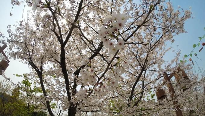 樱花谷图片