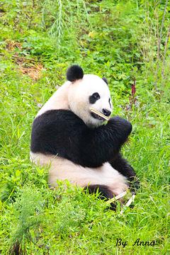 都江堰中华大熊猫苑(原熊猫乐园)的图片