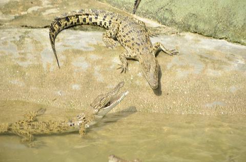 兰卡威鳄鱼公园旅游景点攻略图