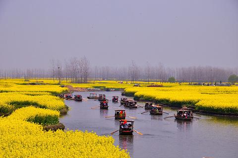 千岛菜花风景区的图片