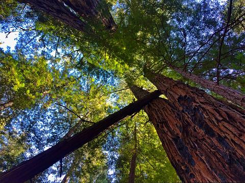 穆尔红杉国家公园