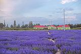 霍城薰衣草