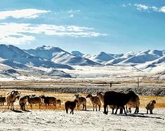 海拔5000追藏羚羊  我在阿里的9天8夜:最壮阔的天地 最恣意的生命