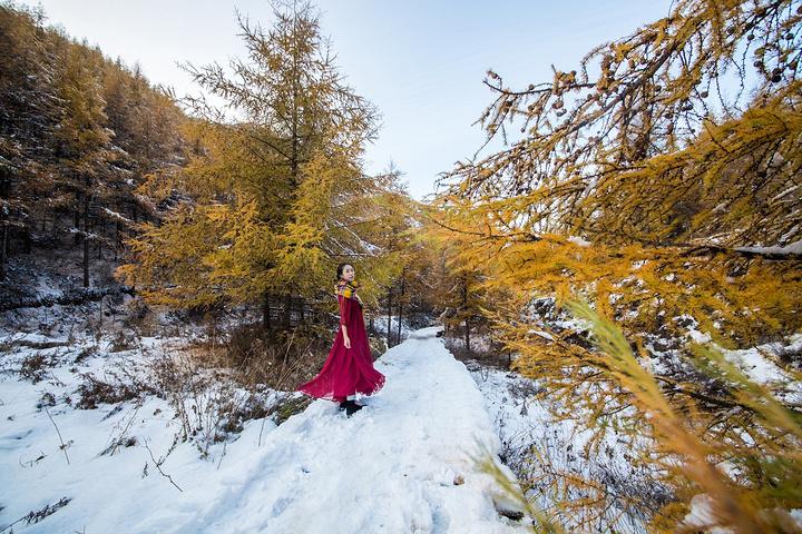 """""""""""北雪冷,南雪柔"""",暖黄针叶林衬托的北方..._苏木山森林公园""""的评论图片"""