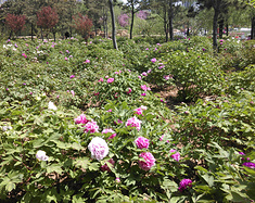 曹州牡丹园一游