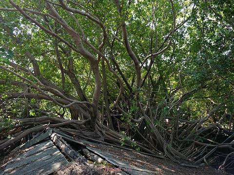 安平树屋旅游景点图片