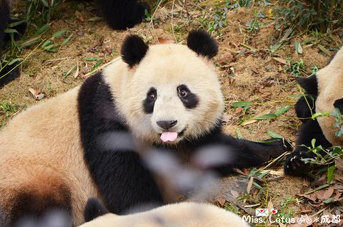 大熊猫繁育研究基地旅游景点攻略图