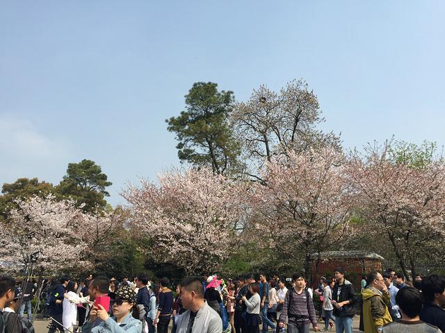 """""""...大的樱花果然也是名不虚传,粉樱、白樱数不胜数,有时一阵风飘过,樱花瓣落下来,犹如身临仙境的感觉_武汉大学""""的评论图片"""