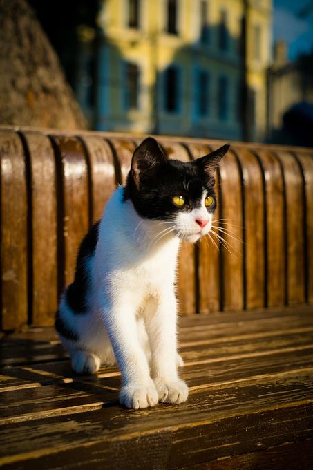 圣索菲亚教堂里的猫。图片
