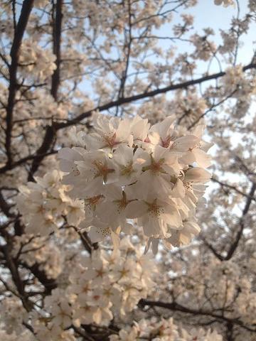 """""""【综述】美丽的樱花确实惊艳到我了!武汉大学建筑特色壮观,古朴典雅!祝你们玩的愉快!文学气息农厚_武汉大学""""的评论图片"""