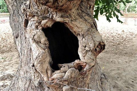 核桃王树的图片
