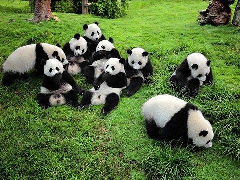 大熊猫繁育研究基地旅游景点图片