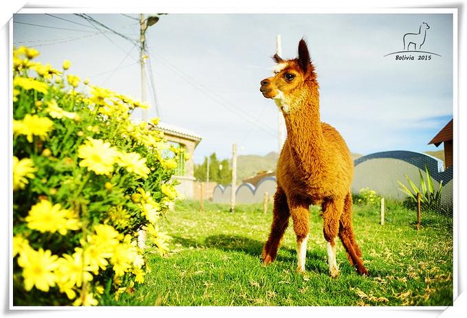 羊驼的故事图片
